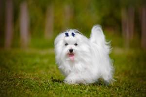 Hunde Malteser