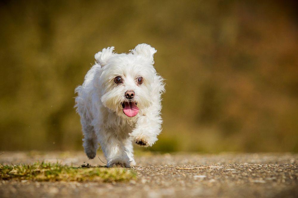Hunderasse Malteser