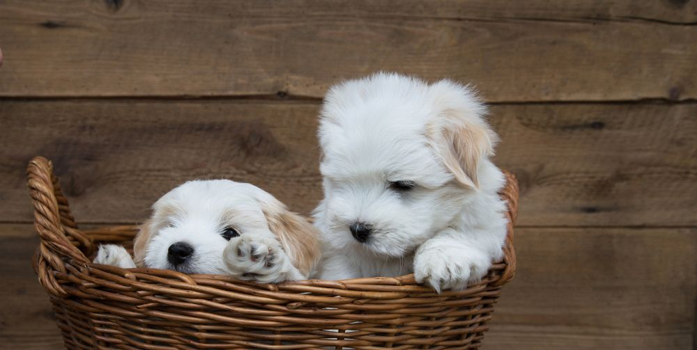 Malteser Hund Malteser Machen Glücklich
