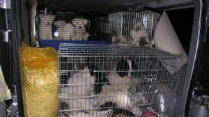 Malteser Welpen vom Züchter aus dem Kofferraum?