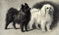 Pomeranian_and_Maltese_Portrait
