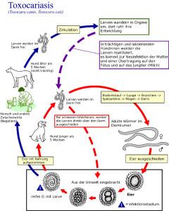 Malteser - Wurmbefall - Würmer