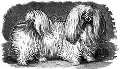 Malteser Hund Geschichte