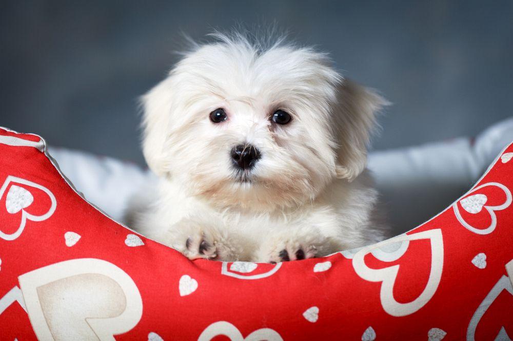 süß, süßer Malteser Hundewwelpen