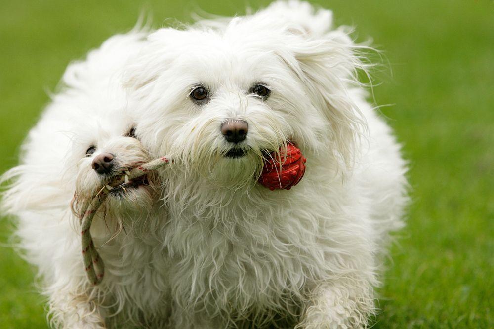 Hundespielzeug Malteser