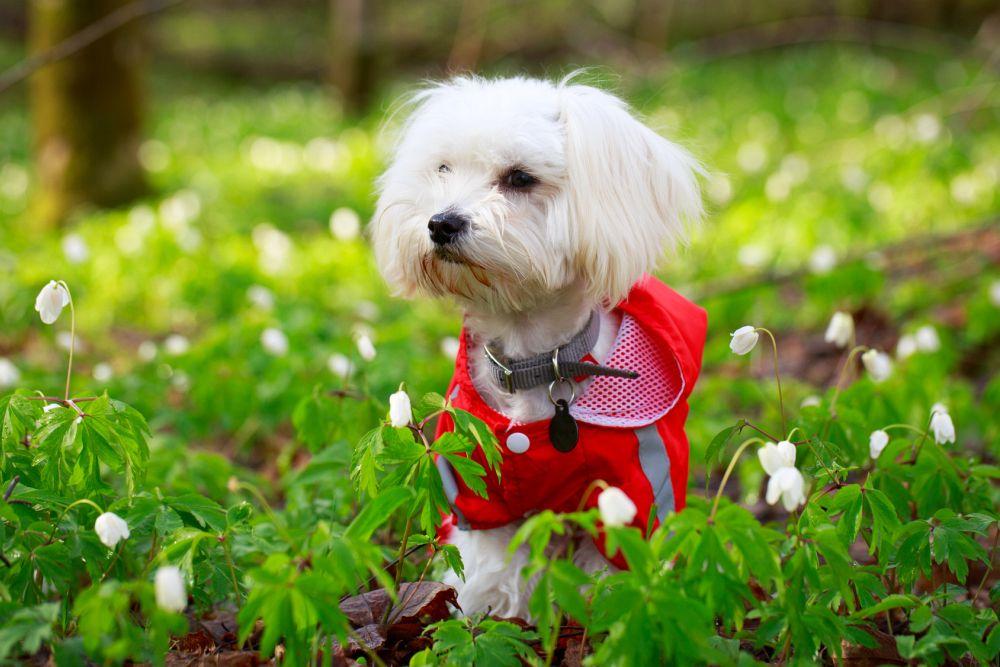 Lebensdauer Malteser Hund