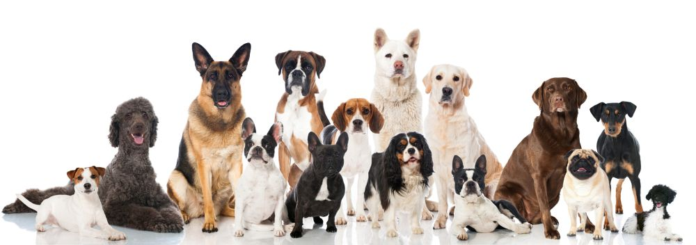 Lebensdauer des Maltesers im Vergleich mit anderen Hunderassen
