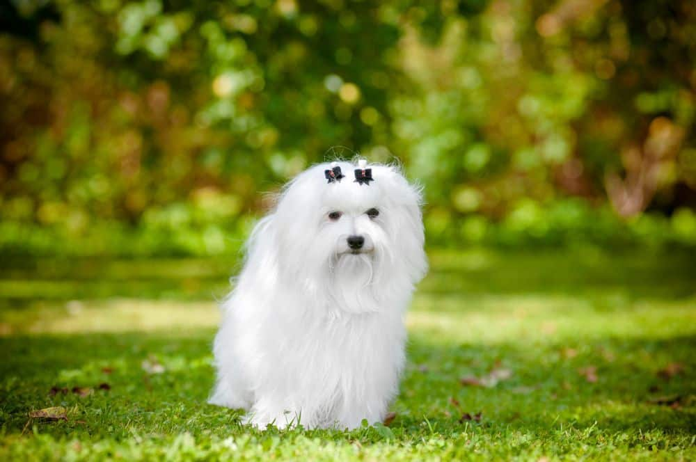 Malteser Hund schaut in Kamera