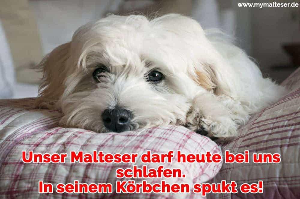 Ein Malteser liegt auf dem Kissen