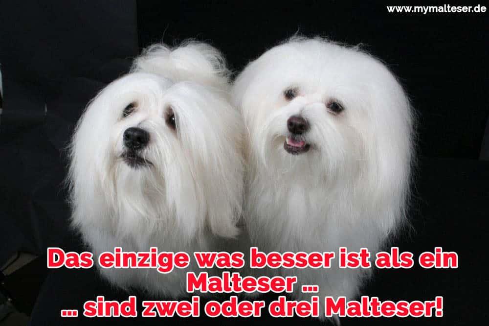 Zwei glückliche Malteser