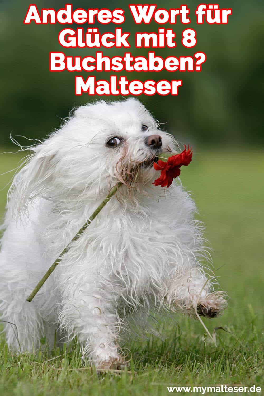 Ein Malteser trägt eine Blume